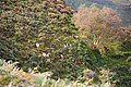 Wicklow Mountains National Park Feral Goats.JPG