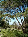 Widdringtonia nodiflora KirstenboshBotGard09292010H.JPG