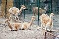 Wikunie familia Lodz Zoo.jpg