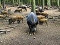 Wild Boar, Bamff - geograph.org.uk - 1532313.jpg