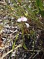 Wild Flower - panoramio (3).jpg