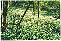 Wild garlic in bloom on the South Downs scarp. - geograph.org.uk - 98742.jpg