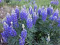 Wildflowers - Bridger-Teton NF - 2017 - 4.jpg