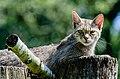 Wildkatze-Anholter-Schweiz.jpg