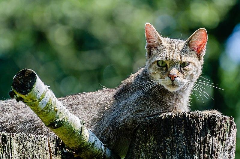 File:Wildkatze-Anholter-Schweiz.jpg