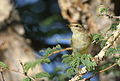 Willow warbler, Phylloscopus trochilus, at Marakele National Park, Limpopo, South Africa (16155450210).jpg