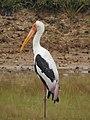 WilpattuNationalPark - February 2018 - Painted stork (1).jpg