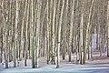 Winter Aspens (68942709).jpeg