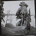 Winter landscape featuring snow-covered pine trees and an ice-covered lake in the background (34183556754).jpg