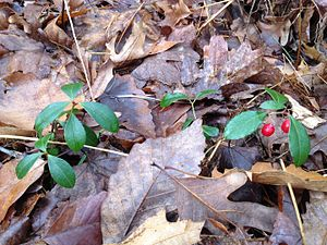 Wintergreen - Wintergreen from Greeley, Pennsylvania; early December