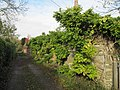 Wisteria on the wall - geograph.org.uk - 1585883.jpg