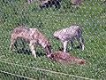Wolf Park - D - Stierch.jpg