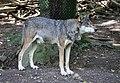 Wolf Tierpark Hellabrunn-4.jpg