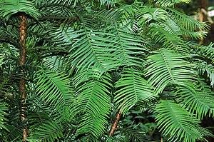 Wollemia nobilis в ботанічному саду м