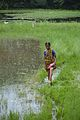 Woman Crosses Marshland - Godkhali - South 24 Parganas 2016-07-10 4786.JPG