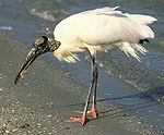 A large white bird with long legs, pink feet, and an ugly head and neck stands on the beach