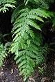 Woodwardia radicans La Palma.jpg