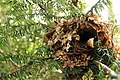Wren Nest 21-04-12 (7099573155).jpg
