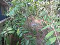 Wrightia tinctoria - ദന്തപ്പാല 01.JPG