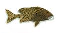 XRF-Plectorhinchus chaetodonoides.png
