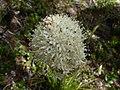 Xerophyllum tenax 16060.JPG