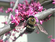 Carpenter bee (Xylocopa virginica) on redbud flowers.