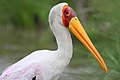 Yellow-billed Stork, Mycteria ibis at Kruger Park (13956983125).jpg