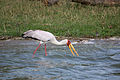 Yellow-billed stork - Queen Elizabeth National Park, Uganda-2.jpg