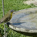 Yellow-breasted Chat (9438060379).jpg