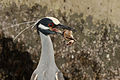 Yellow-crowned Night Heron 9899.jpg