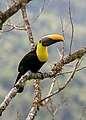 Yellow-throated Toucan (49571297256).jpg