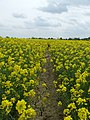 Yellow Flanked Path - geograph.org.uk - 425526.jpg