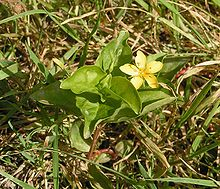 Yellow pimpernel.jpg