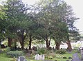 Yews in the churchyard, Laugharne - geograph.org.uk - 596518.jpg