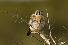 Young American Kestrel.jpeg
