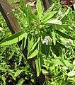 Young blue fenugreek with buds.jpg