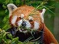Zürich Zoo Lesser Panda (16733629483).jpg