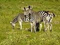 Zebra's (6558958799).jpg