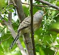 Zebra or Barred Ground Dove. Geopelia striata. - Flickr - gailhampshire.jpg