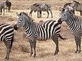 Zebras Ngorongoro 08.JPG