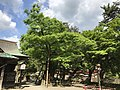 Zelkova serrata in Yasaka Shrine.jpg