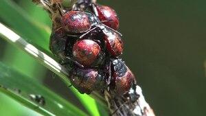 File:Zicrona caerulea - nymphae.ogv