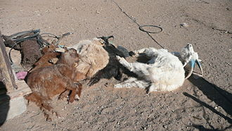 Geography of Mongolia - Goats that died as result of a dzud
