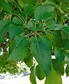 'Georgeous' crabapple, leaves.jpg