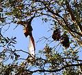 (1)Bats Centennial Park 044.jpg
