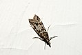 (1342) Eudonia angustea (3894150392).jpg