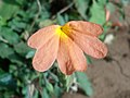 (Crossandra infundibuliformis) fire cracker flower at Kakinada 03.JPG