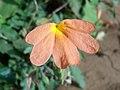 (Crossandra infundibuliformis) fire cracker flower at Kakinada 03.JPG