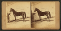 (Horse named) Mambrino Patchen, from Robert N. Dennis collection of stereoscopic views.png