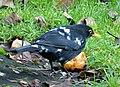 (Spangled) Male Blackbird (49310844682).jpg